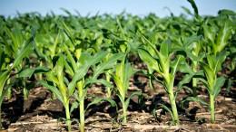 Wer hat Angst vor diesem Mais?