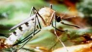 Mücken verbreiten Dengue-Fieber