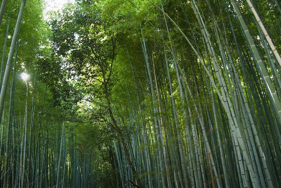 Knapp 1500 Bambusarten gibt es. Lässt man sie gedeihen, können sich ganze Wälder der Süßgräser bilden, wie hier in der japanischen Präfektur Kyoto.