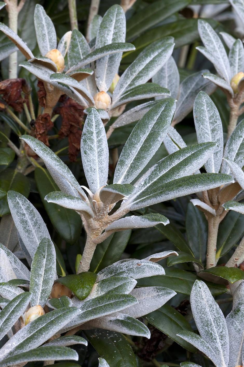Krank? Kein bisschen! Der Überzug ist ein natürlicher Blattschutz der Pflanze.
