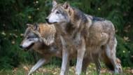 Viel Platz für Wölfe in Deutschland