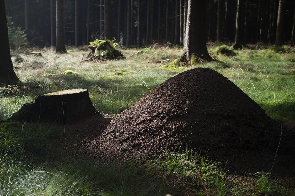 Ameisenhaufen bieten einem Ameisenvolk Schutz und Raum. Die Behausungen speichern auch Wärme.
