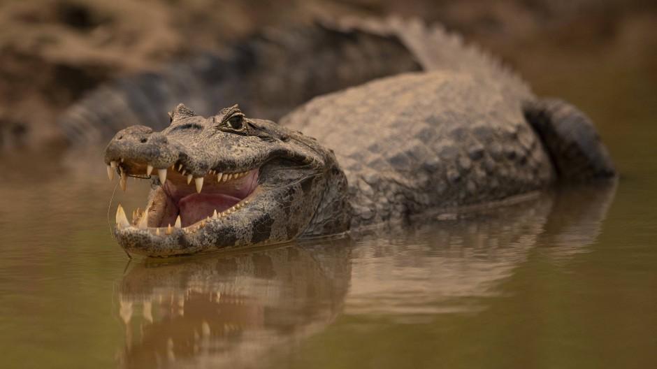 Auf die Familie der Krokodile kann man sich evolutionsbiologisch verlassen: Seit Millionen von Jahren hat sich bei ihnen relativ wenig getan.