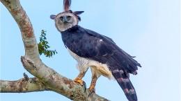 Rettung für den Riesenadler Amazoniens?
