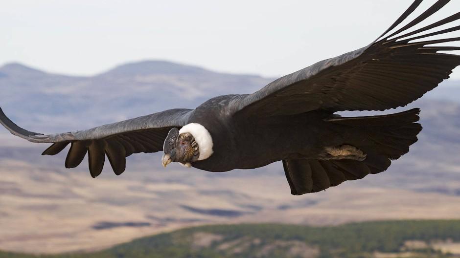 Andenkondore sind die schwersten Greifvögel der Erde und Meister des Gleitflugs.Ihre Flügelspanne kann über drei Meter betragen.