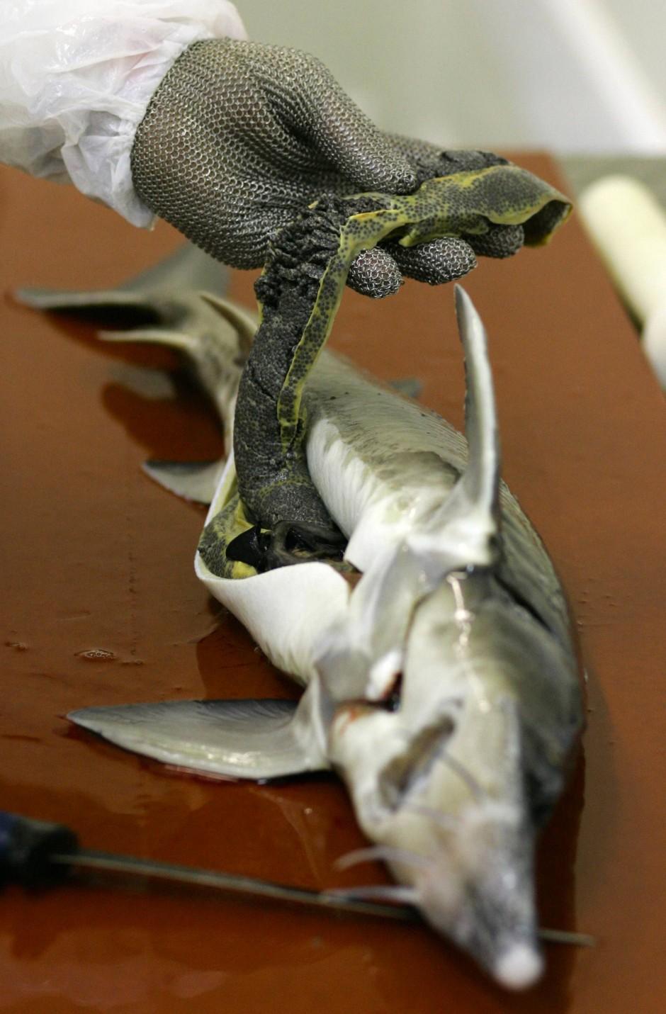 Lohn der Zucht: Legale Kaviargewinnung