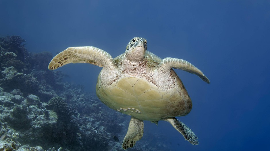 Eine grüne Meereschildkröteschwimmt über ein Korallenriff vor den Malediven.