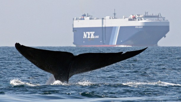 Blue Whale Fluke Tail