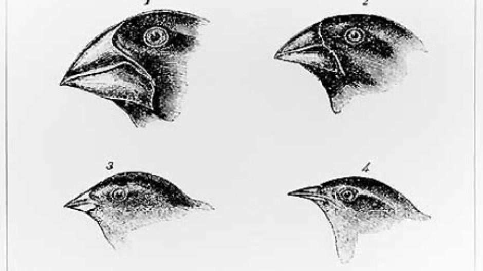 Auf der richtigen Spur: Die Finken, wie sie in der zweiten Auflage von Darwins Reisebericht zu finden sind.