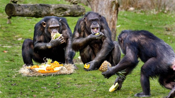 Schimpansen schütten beim Futterteilen Bindungshormon aus