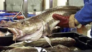 Nordseefische fliehen Richtung Arktis