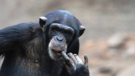 Schimpanse Lome im Zoo Leipzig.
