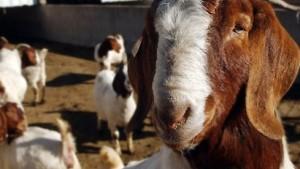 Ein Gegengift aus Ziegenmilch
