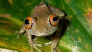Neu entdeckt: Baumfrosch
