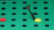 Ein Guppy-Weibchen bei den Versuchen der Forscher
