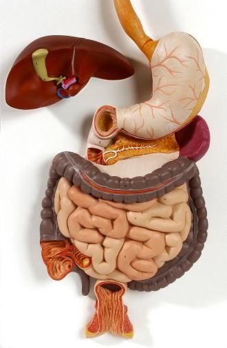"""Das """"Gehirn im Bauch""""? Noch bergen die komplexen Vorgänge in unserem Darm einige ungelöste Rätsel für die Wissenschaft."""