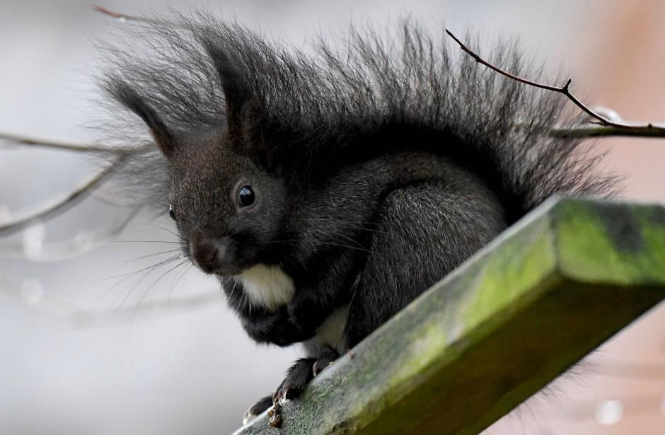 Tatsächlich gibt es auch schwarze Eichhörnchen – leicht zu verwechseln mit den Grauhörnchen.