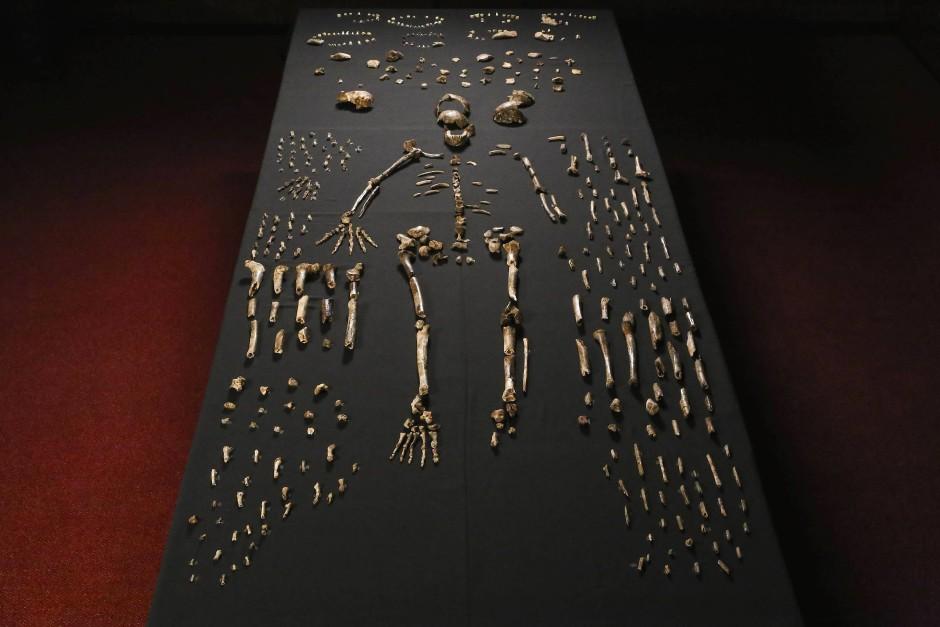 Ein Puzzle: 1700 Knochen und Fragmente des Homo naledi.