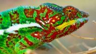 Eine künstliche Haut nach Art des Chamäleons zeigt besondere Eigenschaften