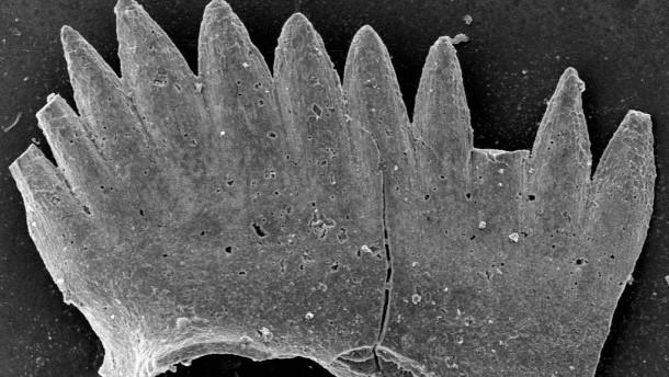 Conodont Fossil
