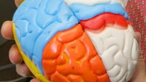 Wechselnde Zuständigkeiten im Gehirn