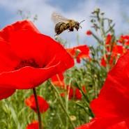 Wiesen mit blühendem Klaschmohn sind selten geworden. Viel häufiger sieht man inzwischen große sterile Flächen mit Rollrasen -  ein für Blumen und Insekten feindlicher Lebensraum.