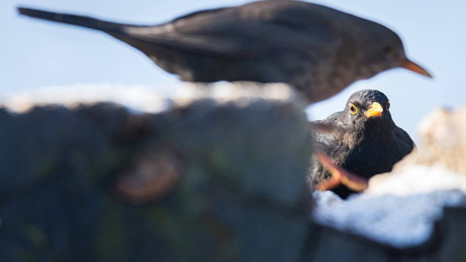 Amseln sind ausgeprägte Reviervögel, die ihre Stadtbiotope und Nistgelegenheiten im harten Gesangswettstreit ausfechten.