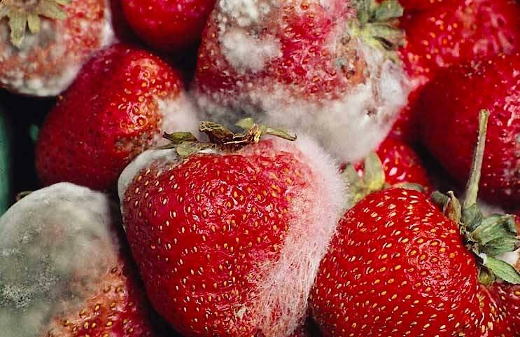 Der Schlauchpilz Botrytis cinerea erzeugt bei Erdbeeren die gefürchtete Grauschimmelfäule.