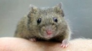 Die Maus in Menschenhand, wirklich unentbehrlich für die Biomedizin?