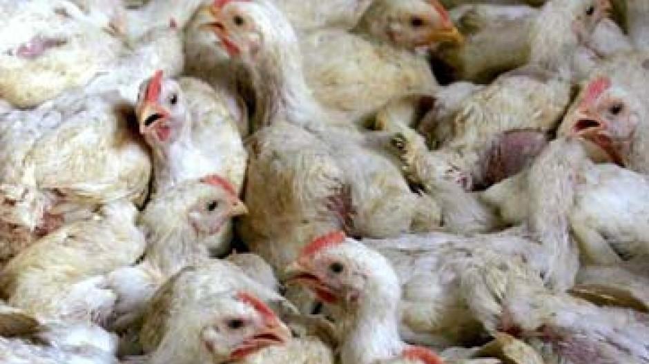 Infizierte Vögel: Tragen sie die Vogelgrippe um die Welt?
