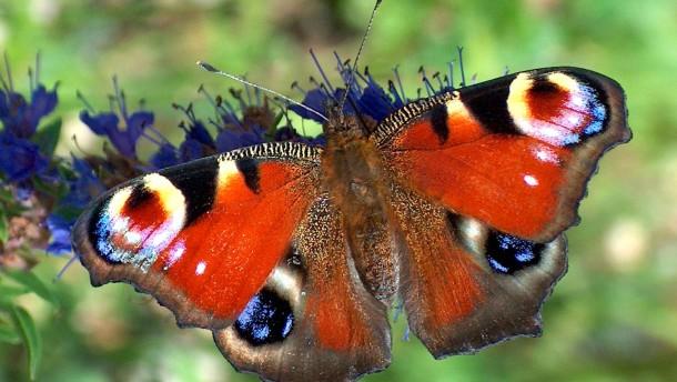 Tagpfauenauge ist Schmetterling des Jahres 2009