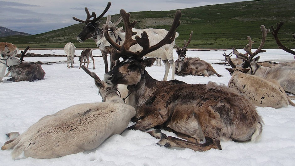 Die Eis-und Schneefelder bieten den Rentieren eine Möglichkeit zur Abkühlung und einen Schutz vor lästigen Insekten.