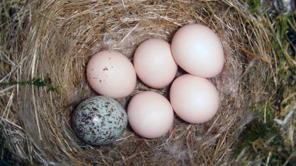 """Das gefleckte Ei des Kuhstärlings ist von denen der """"Opfer"""" leicht zu unterscheiden."""