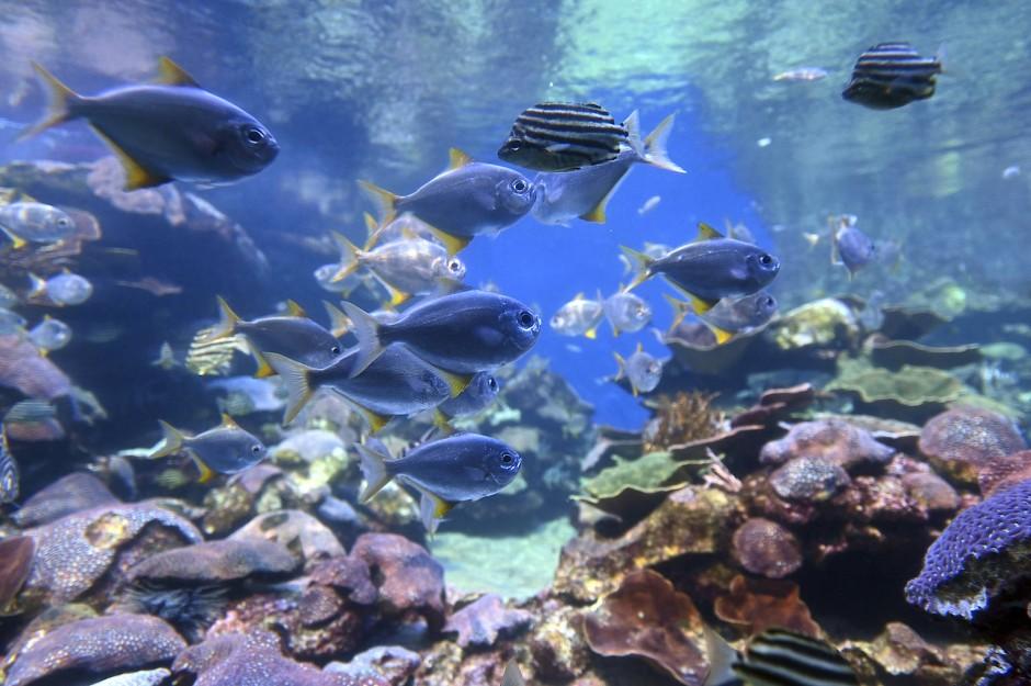 Am Ningaloo-Riff tummelt sich eine Vielfalt an tropischen Fischen.