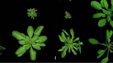 Verschiedene Stämme der Ackerschmalwand (Arabidopsis thaliana) aus unterschiedlichen Regionen der Erde.