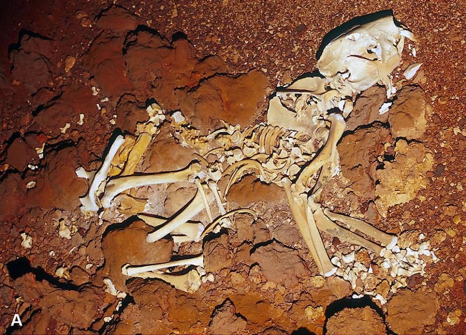 Vollständiges Skelett eines Beutellöwen, das in einer Höhle in der Nullarbor-Ebene im Südwesten Australiens gefunden wurde.