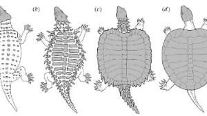 Ein Missing Link unter den Schildkröten