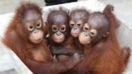 Orang-Utan-Waisen im International Animal Rescue Centre in Ketapang auf Borneo.