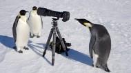 Ohne Telezoom geht bei uns gar nichts. Kaiserpinguine am antarktischen Weddell-Meer beim Sightseeing