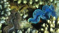 Tridacna maxima: Riesenmuschel