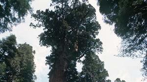 Raffinierte Ventile im Mammutbaum