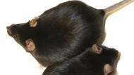 HO-1 macht dicke Mäuse krank.