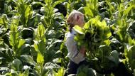 Tabakanbau im pfälzischen Neupotz