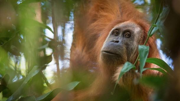 Neue Orang-Utan-Art auf Sumatra