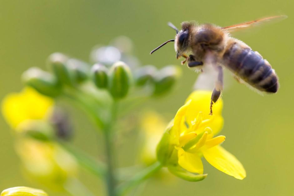 Honigbiene auf einer Rapsblüte.