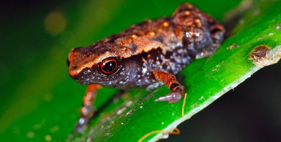 Stumpffia contumelia aus der östlichen Küstenregion Toamasina wird lediglich neun Millimeter lang und zählt damit zu den kleinsten Fröschen der Welt.