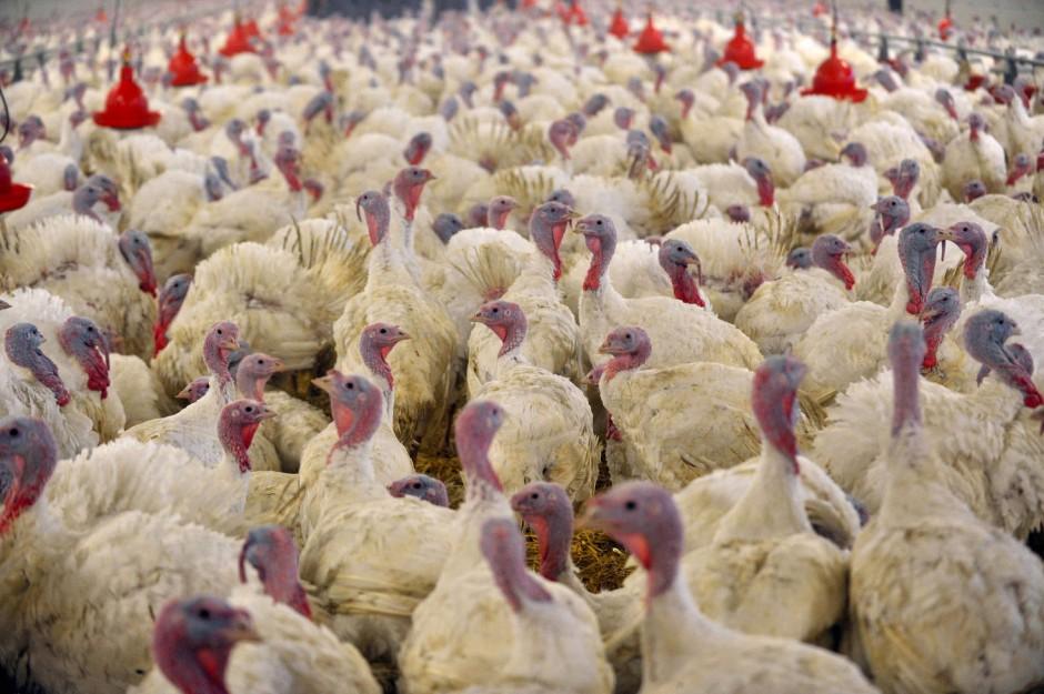 Dichtgedrängte Puten: Ist die Massentierhaltung hauptsächlich verantwortlich für Antibiotikaresistenzen?