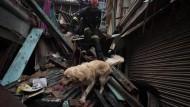 Lebt da noch jemand? Ein Rettungshund bei der Arbeit in den Trümmern von Kathmandu.