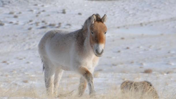 Permafrost konserviert uraltes Pferde-Genom