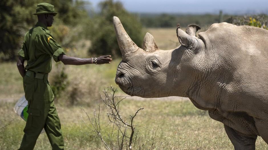 Die letzten beiden Nördlichen Breitmaulnashörner werden im Wildreservat Ol Pejeta in Kenia rund um die Uhr von Rangern bewacht.